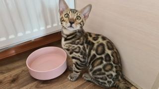 Красивые бенгальские чистопородные котята