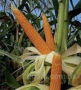 Sell seeds of corn, different varieties